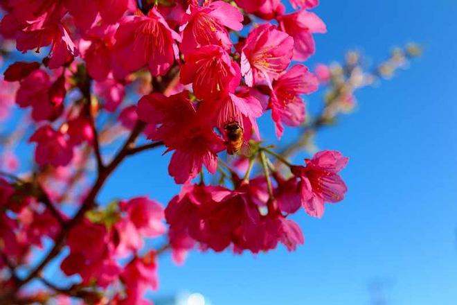 寒緋桜(ひかんさくら)