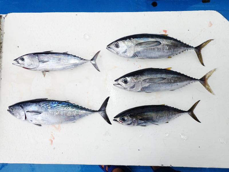 トローリング釣果