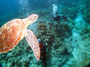 ケラマ ウミガメ